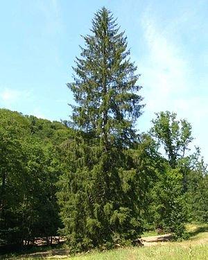 1000 Samen -Gemeine Fichte- (Picea abies) auch Gewöhnliche Fichte, Rotfichte oder Rottanne genannt