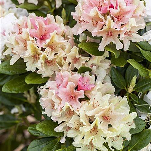 Rhododendron yak. Percy Wiseman Alpenrose 30-40cm im Topf gewachsen