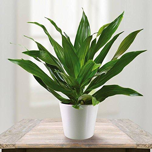 Drachenbaum Dracaena Green Jewel - 1 pflanze