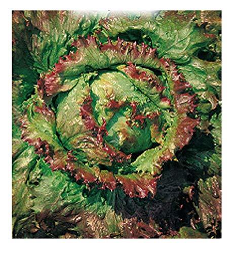 Semillas de lechuga de 5000 c. Maravilla de verano canasta - Lactuca sativa - En su empaque original - Hecho en Italia - Lechuga - LA007