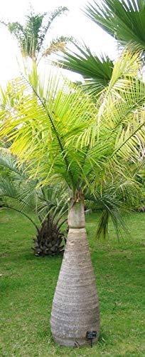Flaschenpalme Hyophorbe lagenicaulis Pflanze 10cm Fasspalme Palme sehr selten
