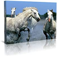 Bianco stalloni corsa in acqua Wildlife Stampa Su Tela 76,2x 50,8cm incorniciata stampa su tela