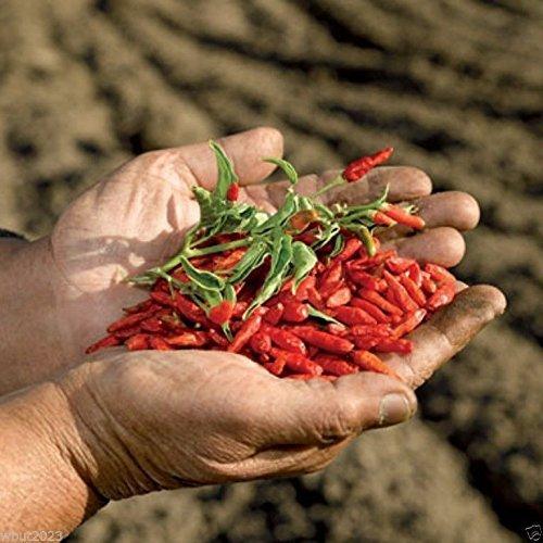 50-seeds-african-birds-eye-chili-aka-malawi-bird-chili-piri-piriafrican-devil-by-wbut2023