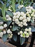 Skimmia japonica fructu albo - japanische Fruchtskimmie