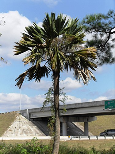 Sabal Palmetto 'Lisa' - 10 graines extrêmement rare froid Hardy Mutant? Paume