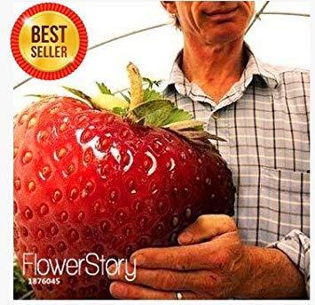 Fash Lady Neue Samen 2015!Erdbeere Riese Erdbeer Samen süß vier Jahreszeiten, selten, duftend, süß & saftig - 200 Samen/Lot, JQMML6