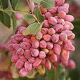 Beautytalk-Garten Samen Nussbaum Obstbaum Samen Pflanzensamen Saatgut mehrjährige Baumsamen für Ihr Garten Balkon Lange Blütezeit winterhart