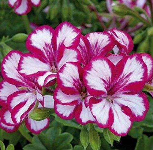 Deux couleurs Rouge Blanc univalve Géranium Graines Graines de fleurs vivaces Pelargonium peltatum Semences pour 100 graines Pièces d'intérieur / Sac 2
