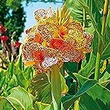 SummerRio Garten- 100 Pcs Indisches Blumenrohr 'Canna indica' indica Indisches Blumenrohr mehrjährig blumen exotische (1)