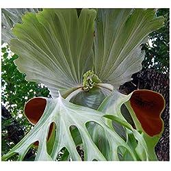 Platycerium superbum - Riesen-Geweihfarn - 10 Samen