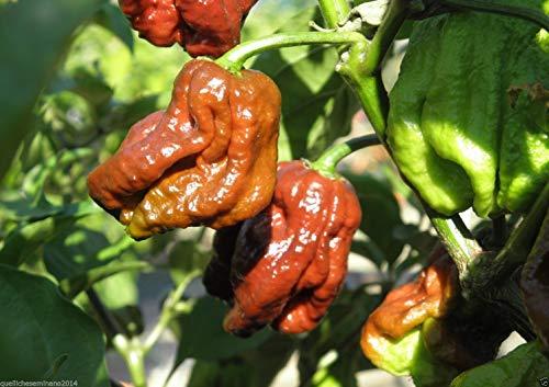 Portal Cool 20 Original reine Samen Trinidad Douglah Peproncino Spicy Brown + Guid-Brown-