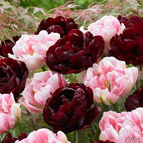 Tulpenzwiebeln Sweet Desire Mix Dunkelrot und Rose - Blumenzwiebeln, mehrjährig & robust- Späte Tulpe Sweet Desire Mix - 15 Tulpen-Zwiebeln von Garten Schlüter - Pflanzen in Top Qualität
