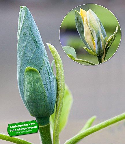 baldur-garten-magnolien-blue-opal-1-pflanze-magnolia-acuminata
