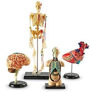 Learning Resources- Anatomy Models Set de Modelos anatómicos de Learning Resouces, Color (LER3338)