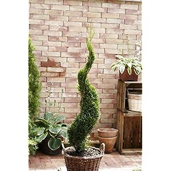 buchsbaum 3er kugel h he 110 cm bonsai buxus. Black Bedroom Furniture Sets. Home Design Ideas