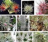 Fiori Tillandsia, semi Tillandsia, semi di fiori, circa 100 particelle
