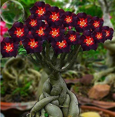 ADB Inc DD 2016 neue 2 Packung rotes Herz braune schwarze Adenium-Wüste Rose mit Feuer Blume - Blumen-zwei Tote Tasche