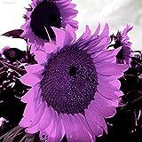 Portal Cool 9862 Lila Riesen-Sonnenblume -Helianthus Annuus-100 Blumensamen-Large-Pack 1324