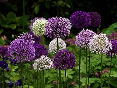 RIESEN LAUCH (Allium giganteum) MIX - violett und weiss - 2 x 30 Samen / Pack - Zierlauch - Winterhart - Riesenlauch von Saatgut auf Du und dein Garten