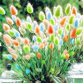 100 PC-Kaninchen Tails Gras Bonsai Bunte Schwingel Bonsai Ziergräser Bonsai für Hausgarten-Topfpflanzen Dekor: 7
