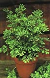 50 YELLOW RUE (Herb of Grace / Common Rue) Ruta Graveolens Herb Flower Seeds by Seedville