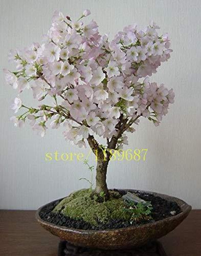 Pinkdose 10 pcs nouveau bonsaïs sur le bureau fleurs de cerisier japonais de fleurs sakura pour la décoration couleur rare pour les planteurs de pot de fleur: 3