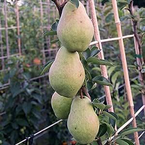 Williams Christbirne, kräftiger dreijähriger Birnenbaum Buschbaum 120-150 cm 10 Liter Topf Quitte A