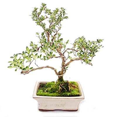 Outdoor Bonsai - Serissa foetida variegata - Junischnee - Baum der 1000 Sterne 15cm