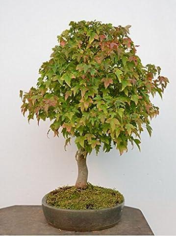 20 pcs / sac feu érable, érable leafs, graines d'arbres bonsaï, graines de l'érable japonais (Albero Di Fuoco)