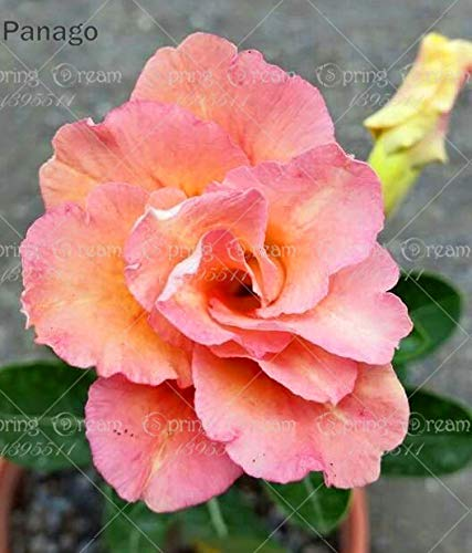 Pinkdose 2pcs Fiore rosa del deserto vero Adenium obesum bonsai fiore pianta piante grasse perenni piante in vaso al coperto per il giardino di casa: 10