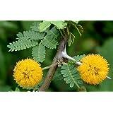 Acacia farnesiana - acacia dulce - 50 semillas