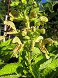 Staudenkulturen Wauschkuhn Salvia glutinosa - Klebriger Salbei - Staude im 11cm Topf