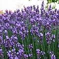 Lavendel 'Munstead' - Lavandula angustifolia 'Munstead' - Duftpflanze von Native Plants - Du und dein Garten