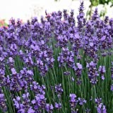 Lavendel 'Munstead' - Lavandula angustifolia 'Munstead' - Duftpflanze
