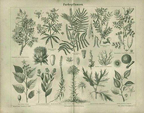 Farbepflanzen, Indigo, Gelbholz ua. Antiker Stich von 1874.