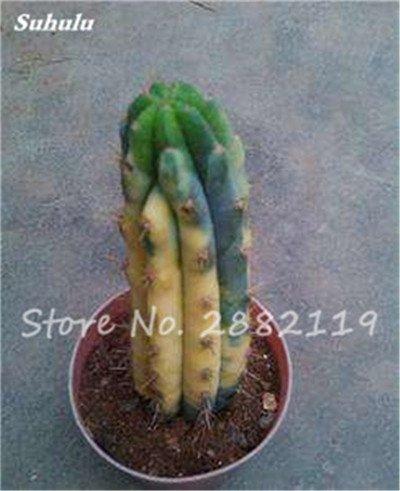 Géant à long Cactus Graines résistant à la chaleur extérieure Succulent Plante en pot Purifier Air Bonsai pour jardin Radioprotection 80 Pcs 7