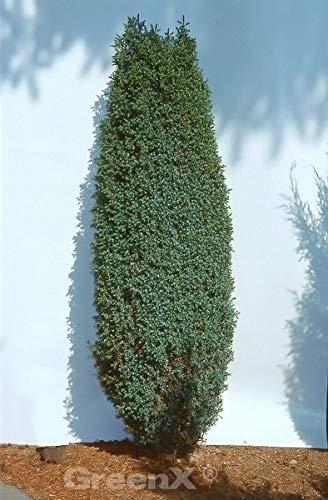 Zwerg Säulen Wacholder Compressa 20-25cm – Juniperus communis