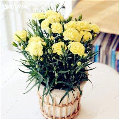 Mother Love Flower 100 Pcs Bonsai Carnation Graines vivaces Graines de fleurs rares Plante en pot pour jardin Four Seasons Plantation 13