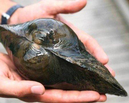 Teichmuscheln, 3 st + 1 x NH TOXEX BALL - Wunderwaffe gegen Schwebe Algen im Teich - Natürlicher Biofilter im Gartenteich