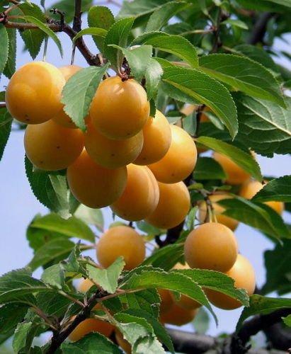Prunus domestica syriaca süße Mirabelle Pflanze 20cm süße essbare Früchte