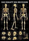 Ruediger Anatomie TA71LAM Das Skelett des Menschen Tafel, 70 cm x 100 cm, laminiert