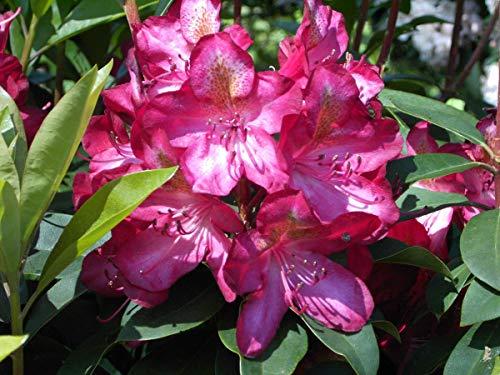 Rhododendron Hybride 'Junifeuer' - Im 5 lt. Topf, Höhe ca. 30-40cm