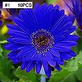 mymotto Blumensamen - blaue Gänseblümchen, die Staude ist von Sommer bis Herbst, winterhart, mehrjährig, 10/20/50 Samen (10 samen)