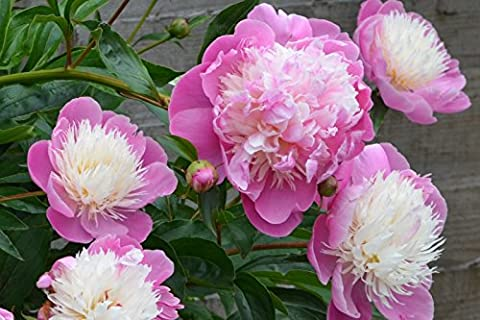 3 x Beautiful Pink Peony Bowl of Beauty (sections of bare root) UK Free Postage