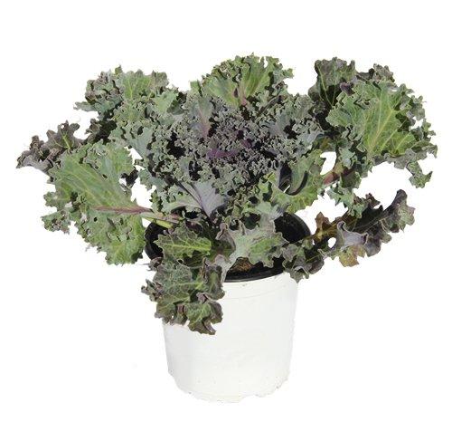 col-ornamental-col-de-jardin-brassica-oleracea-de-varios-colores-planta-natural-altura-13-cm-aproxim
