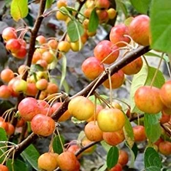 20 Crab Apple Trees 2-3ft Native Malus Hedging,Make Your own Cider /& Jelly 3fatpigs/®