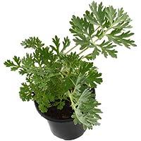 Ajenjo Natural 10cm Artemisia Absinthium Planta Natural