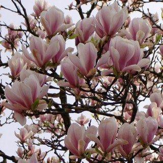 Tulpenmagnolie - Magnolia soulangiana - Magnolie (Große Magnolia)