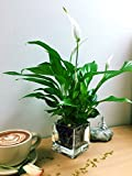 Best Home-Cube Indoor Plants - Easy Plants Peace Lily Spathiphyllum in Square Glass Review