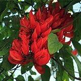 10 semillas semillas de glicina / bolsa semillas semillas de flores de árboles bonsai Wisteria árbol de 11 colores plantas de glicina de bricolaje para el jardín de 11